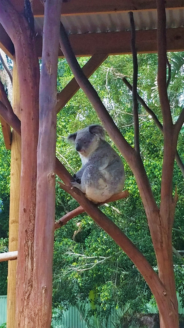 Australia Travel Guide | Featherdale Wildlife Park | Koala