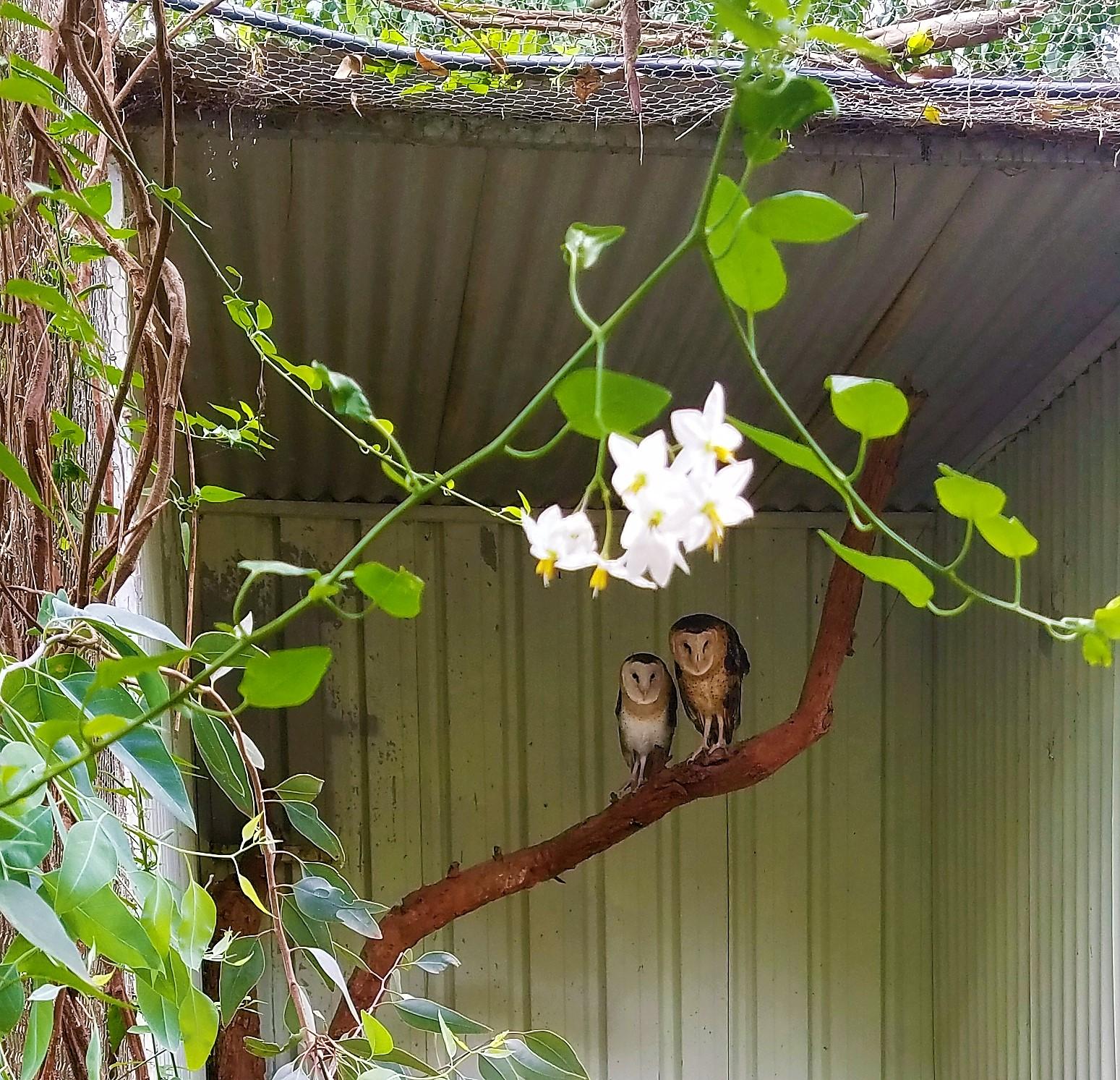 Australia Travel Guide | Featherdale Wildlife Park | Owls
