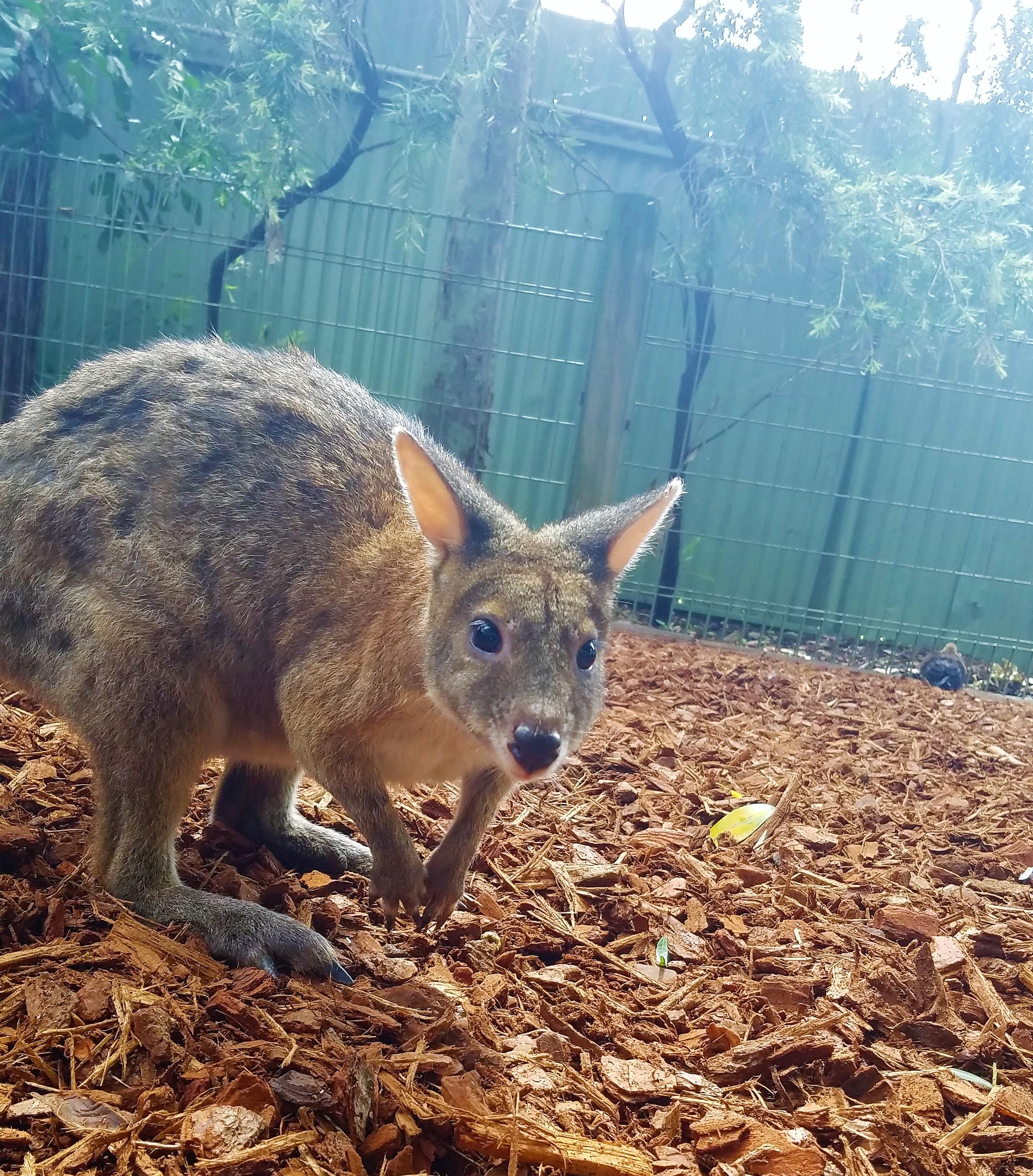 Australia Travel Guide | Featherdale Wildlife Park | Walloby