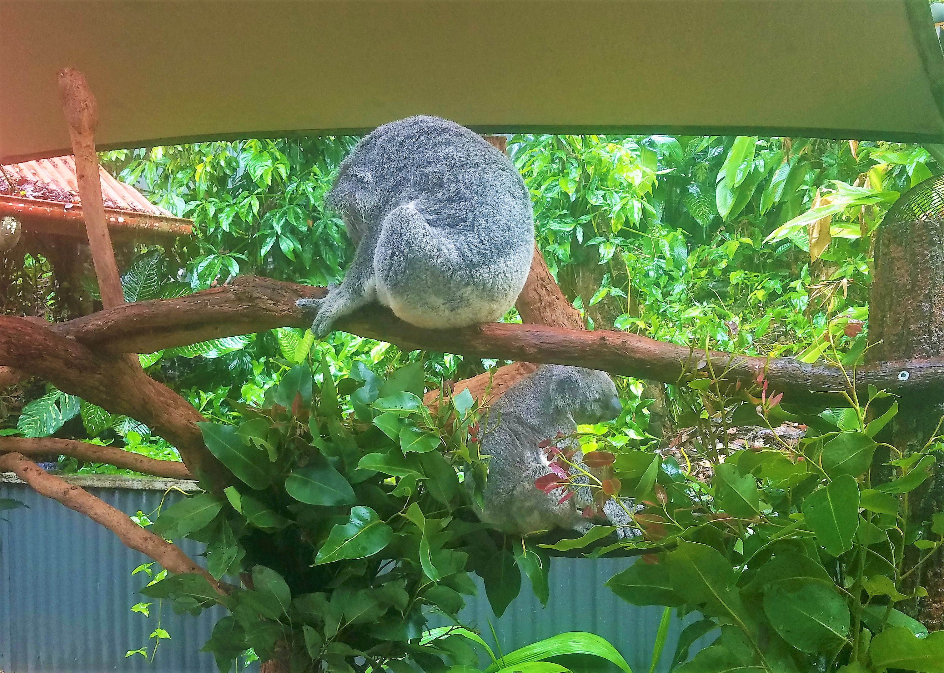 Australia Travel Guide | Kuranda Railway and Skyway Excursion from Cairns, Queensland | Cuddle a Koala at Kuranda Koala Gardens