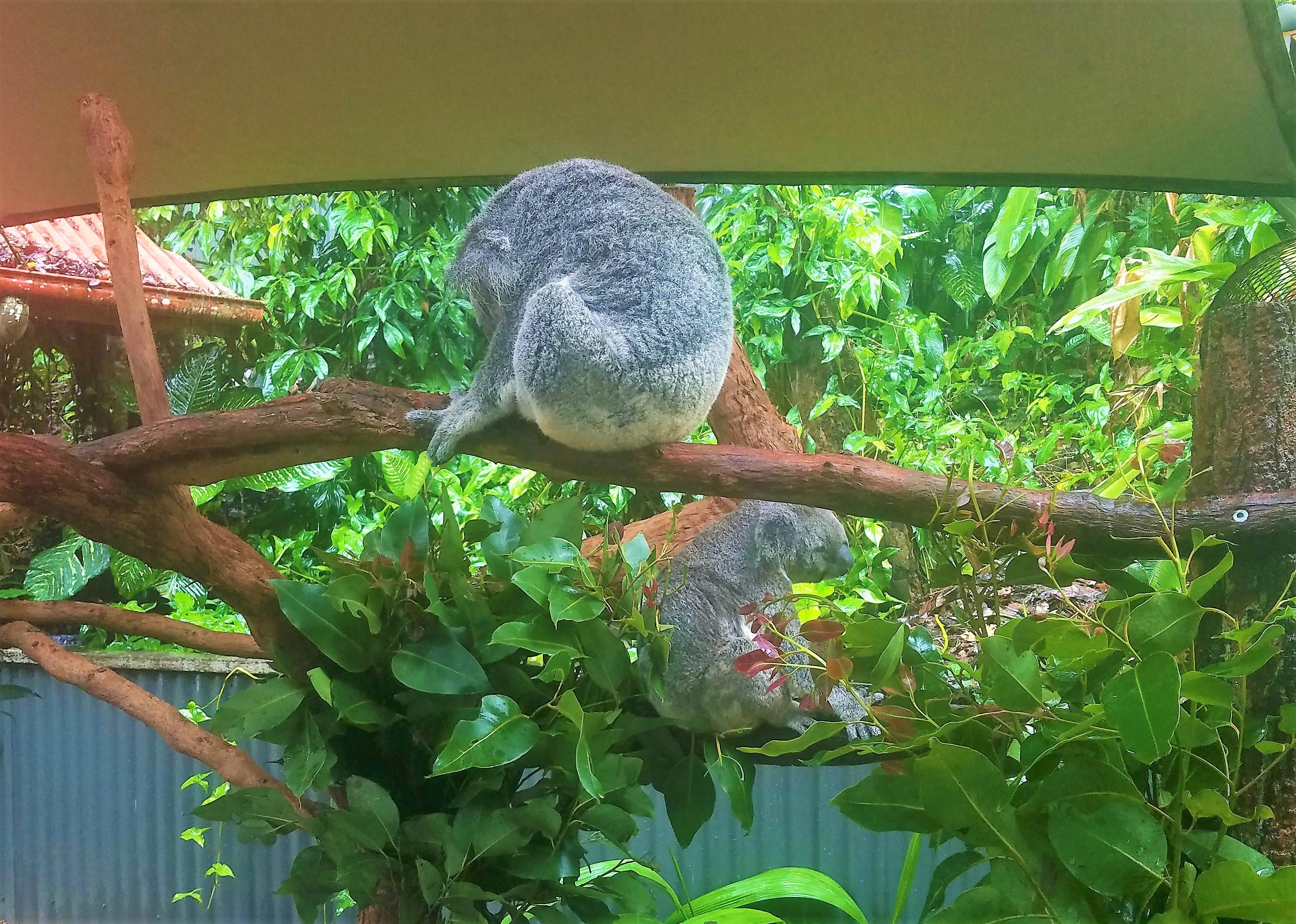 Australia Travel Guide | Kuranda Railway and Skyway Excursion from Cairns, Queensland | Cuddle a Koala at Kuranda Koala Gardens